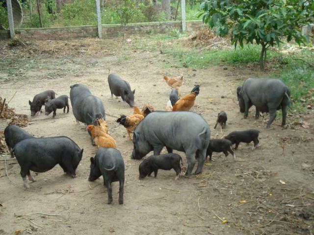 Mô hình chăn nuôi  lợn Sóc