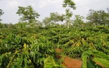 Vườn cà phê được phun phân bón lá NUCAFE 2 lần/năm