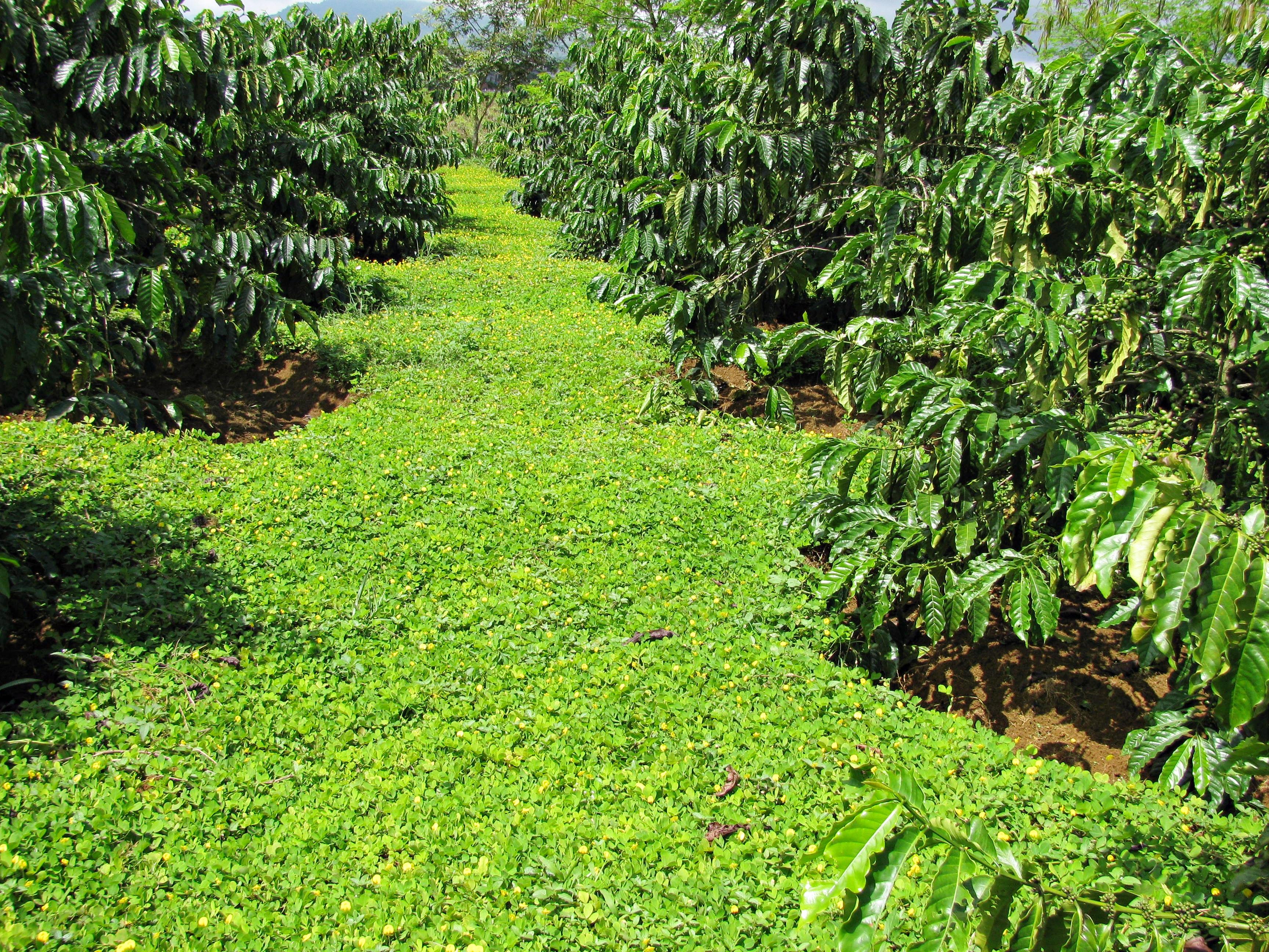 Phương pháp làm đất tối thiểu trong sản xuất cà phê - Viện